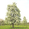 perenboom[1]